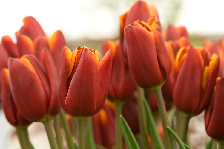 Tulip 'Abu Hussan' (Triumph Group), mid May. Raised in 1976 by J.F. van den Berg & Sons, C. Roet & Sons.
