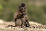 Gelada Baboon, Theropithecus gelada, Simien Mountains National Park, Ethiopia, young baby, cute, vunerable, endangered.Africa....
