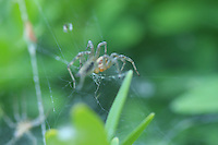 A spider climbs to the top of his web to investage the distrubance to his peace &amp; quiet.
