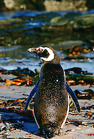 Magellanic Penguin showing natural oil on its feathers at Sea Lion Island, Falkland Islands, South Atlantic.