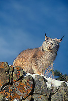 657146008 a captive canadian lynx felix lynx surveys its surroundings from a lichen covered rock outcrop in montana