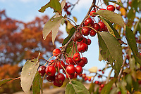 Crabapple Indian Summer in red fruits (Malus) against blue sky