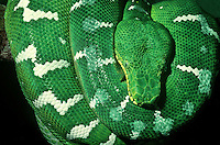 412303001 a captive emerald tree boa corallus canina in a tightly coiled position hangs from a tree limb animal is a zoo animal species is found throughout tropical south america