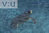 A Loggerhead Sea Turtle (Caretta caretta) Curacoa Seaquarium, Curacoa, Dutch West Indies
