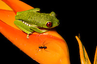 Red-eyed Tree Frog (Agalychnis callidryas) resting on a Heliconia flower next to a black ant, Costa Rica