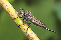 A female Robber Fly (Efferia aestuans) waits on a plant stem for passing prey.
