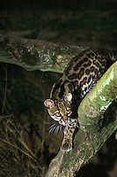 Margay Cat (Leopardus wiedi) adult on branch.