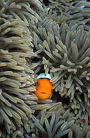 mn104. Clown Anemonefish (Amphiprion percula). Papua New Guinea, tropical Pacific Ocean..Photo Copyright © Brandon Cole. All rights reserved worldwide.  www.brandoncole.com..This photo is NOT free. It is NOT in the public domain. This photo is a Copyrighted Work, registered with the US Copyright Office. .Rights to reproduction of photograph granted only upon payment in full of agreed upon licensing fee. Any use of this photo prior to such payment is an infringement of copyright and punishable by fines up to  $150,000 USD...Brandon Cole.MARINE PHOTOGRAPHY.http://www.brandoncole.com.email: brandoncole@msn.com.4917 N. Boeing Rd..Spokane Valley, WA  99206  USA.tel: 509-535-3489