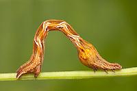 Cross-lined Wave Moth (Calothysanis amaturaria) caterpillar (larva), aka Cobra Inchworm, Ward Pound Ridge Reservation, Cross River, Westchester County, New York