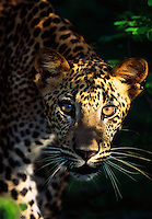 Leopard cub at Yala National Park.