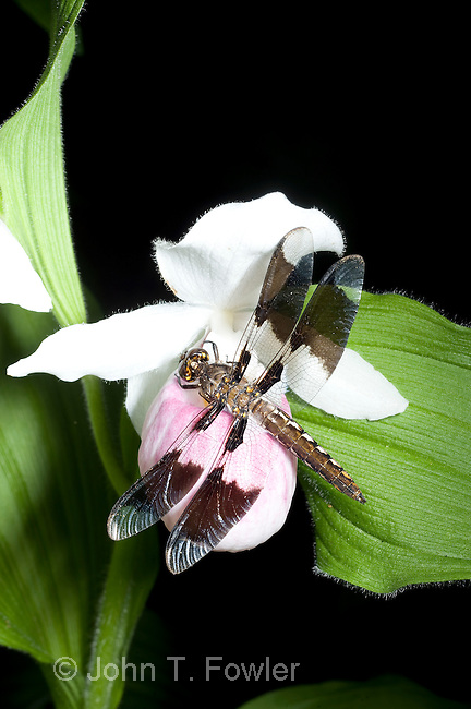 Common Whitetail Dragopnfly, female, on Showy Lady`s Slipper Orchid