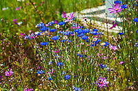 Wildflowers, Blue, Pink, Green Grass