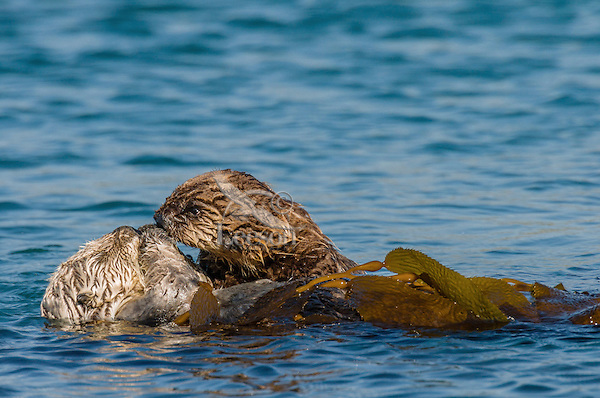 Southern Sea Otter (Enhydra lutris nereis) mom and pup.  Pup is being playful while mom is trying to nap while being wrapped in kelp.  Central California Coast.