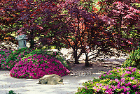 Japanese Zen Garden with Azaleas and red maple trees at St. Louis Botanical Garden, Missouri USA