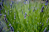 Honeybees pollinate fields of fragrant lavender flowers in the afternoon sunshine in Kula, Upcountry Maui