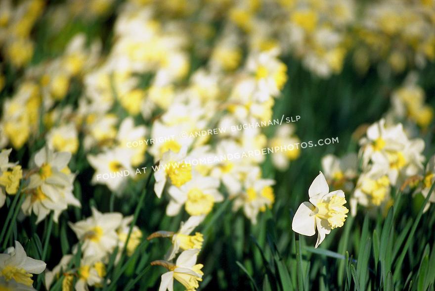 007695layersgarden flower daffodil photojpg