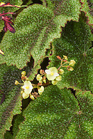 Begonia masoniana in bloom - iron Cross Begonia