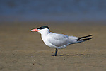 A caspian tern stands alone on a flat stretch of wet sand