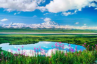 20, 3020+ ft. Mt. McKinley (locally called Denali) Fireweed and tundra pond, Denali National Park, Alaska
