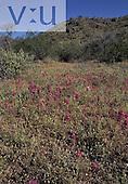 Owl Clover (Orthocarpus purpurescens) spring bloom in the Sonoran Desert, Arizona, USA.