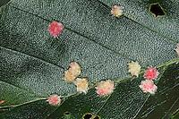 Behaarte Buchengallmücke, Buchen-Gallmücke, Gallen an einem Buchenblatt, Buchengalle, Behaarte Buchengallen, Hartigiola annulipes, Hormomyia piligera, Hairy Beech Gall, gall midge, Beech hairy-pouch-gall midge