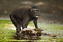 Subadult male crested black macaque (Macaca nigra) running in water during play with other one, Indonesia, Sulawesi, endangered species, threatened through loss of habitat and bush meat trade, species only occurs on Sulawesi.