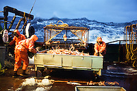 """Crewmen shove a sorting table full of freshly caught opilio crab in January 1995 bonbaord the Polar Lady during opilio crab season in the Bering Sea. Juveniles are tossed back into the sea. The fishery is managed by the Department of Fish and Game. Crab fishing in the Bering Sea is considered to be one of the most dangerous jobs in the world.  This fishery is managed by the Alaska Department of Fish and Game and is a sustainable fishery.  The Discovery Channel produced a TV series called """"The Deadliest Catch"""" which popularized this fishery. Today this fishery, largely based out of Dutch Harbor, AK has been consolidated resulting in a lot less boats fishing."""