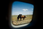 A cow simulates sex with a bull on rangeland near Riverton, Wyoming...Travel Scenes from Wyoming through the window of a rented Mazda M5.