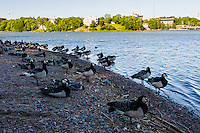Finland, Helsinki. The large Eläintarha park, Töölönlahti bay. Barnacle Goose.