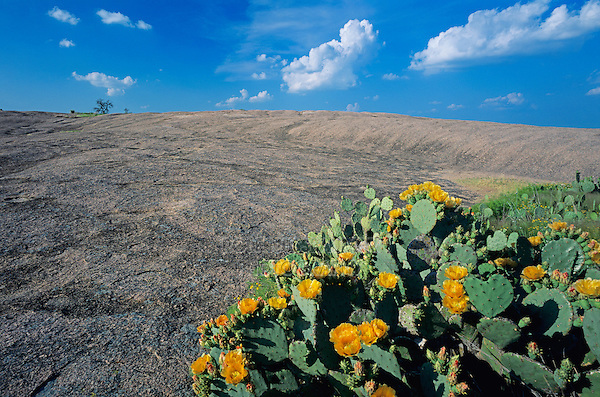 Enchanted Rock and Texas Prickly Pear Cactus (Opuntia lindheimeri), Enchanted Rock State Natural Area, Hill Country,Texas, USA,