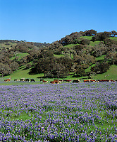 LUPIN fields and OAK woodlands with grazing CATTLE - MONTEREY COUNTY, CALIFORNIA