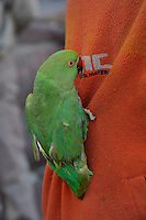 A Parrot on a shirt. During the festival celebrated all over India. Holi Festival Jaipur India
