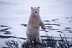 A polar bear standing on hind legs, Canada.