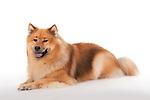 Eurasier Dog - relaxed pose, laying down, studio