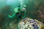 LA Waterkeeper diver removes urchins for kelp restoration project at Palos Verdes,CA site.