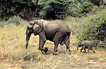 Africa, Tanzania, Lake Manyara; A mother leads her baby elephant calf.