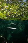 Estuarine halfbeak (Zenarchopterus disper) in the shallow mangroves with  reflection. North Raja Ampat, West Papua, Indonesia
