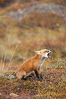 Red fox sits in the autumn tundra of Denali National Park, interior, Alaska.