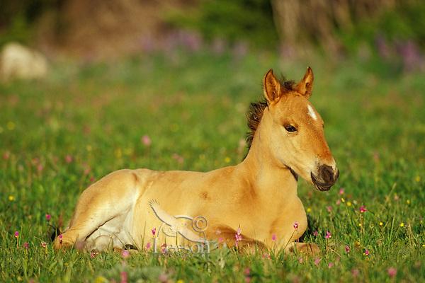 Wild Horse colt rests among wildflowers (shootingstars or birdbills).  Montana. Summer..(Equus caballus)