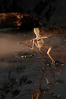 """a brown basilisk, also known as """"Jesus Christ lizard"""", running on water"""