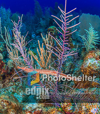 22 July 2015: A Trumpetfish, Aulostomus maculatus, tries to remain unnoticed between soft corals on the reef at Lemon Wall, at Little Sound, on the North Shore of Grand Cayman Island. Located in the British West Indies in the Caribbean, the Cayman Islands are renowned for excellent scuba diving, snorkeling, beaches and banking.  Mandatory Credit: Ed Wolfstein Photo *** RAW (NEF) Image File Available ***