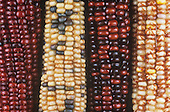 Variation in Indian corn due to the presence of genetic elements called transposons by Barabara McClintock.