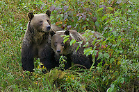Grizzly sow and her cub standing and watching from the brush