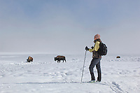 Cross Country skier and Bison (Bison bison) with snow at Old Faithful area, Yellowstone National Park, Winter, Wyoming, United States of America.