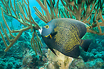 Bonaire, Netherlands Antilles; an adult French Angelfish hovers under a large sea rod growing on the coral reef , Copyright © Matthew Meier, matthewmeierphoto.com All Rights Reserved