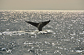 Stock photo of Grey Whales