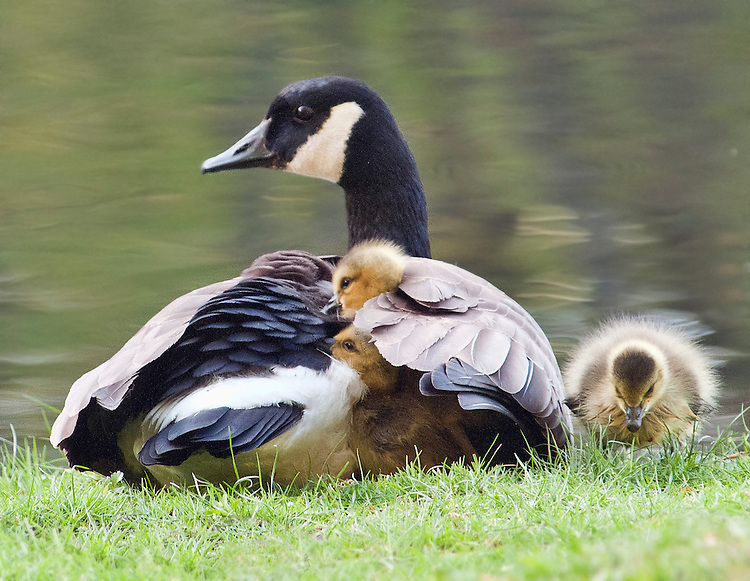 Mother-Goose-and-Her-Chicks - Do you ponder on the natural beauty of family? - Anonymous Diary Blog