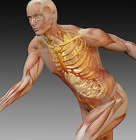 Biomedical illustration of a man in an active running pose showing the muscular system, skeleton and internal organs such as intestines, heart and lungs.