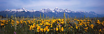 Wildflowers below the Teton Range reach the peak of their bloom in Grand Teton National Park in Wyoming.
