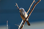 Western Scrub Jay, Sepulveda Wildlife Refuge, Southern California